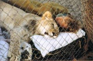 kisah nyata Christian,seekor singa yang luar biasa